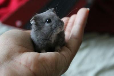 Cute dwarf Hamster