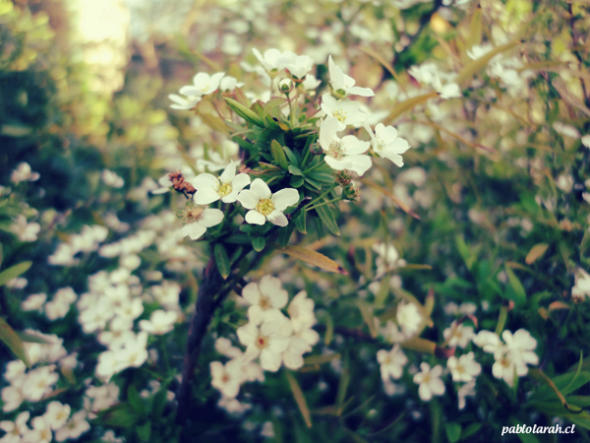 white flowers,bush,pablolarah,Pablo Lara H Photography,Santiago, Chile