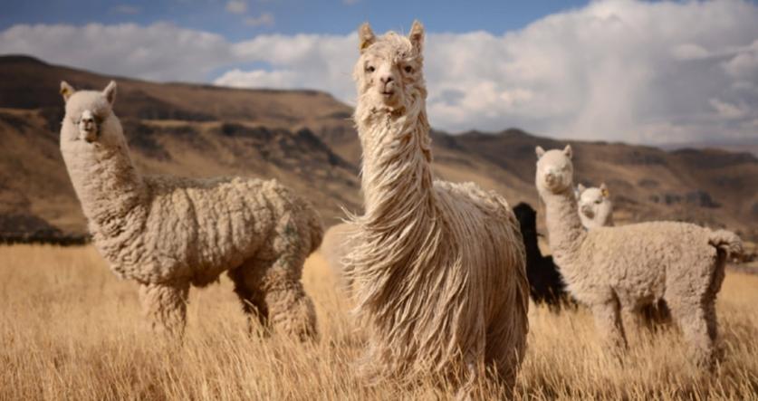 Alpacas y alpaqueros: Perú: Usan técnicas in vitro y de ...