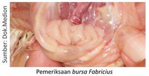 contoh pemeriksaan organ kekebalan unggas