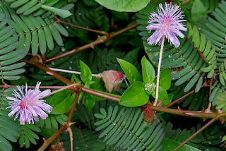 Tanaman Putri Malu (Mimosa Pudica)