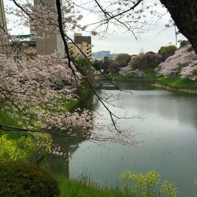 東京観光:武道館の桜