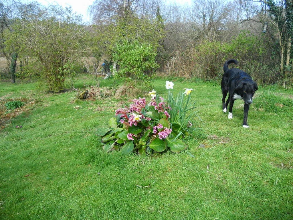 Daffs, Bergenias (or 'elephants ears')