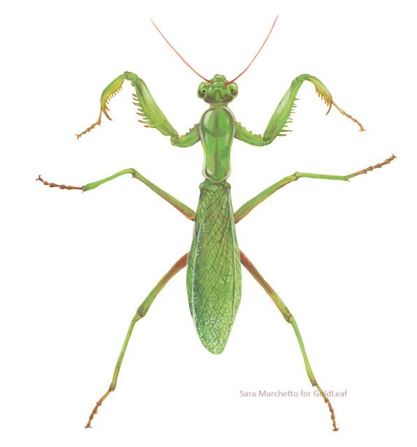 mantis religiosa scientific illustration