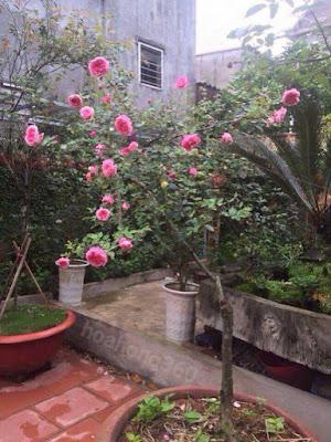 hình ảnh hoa hồng cổ sapa đẹp nhất