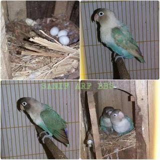 Makanan Lovebird Saat Bertelur Dan Mengeram