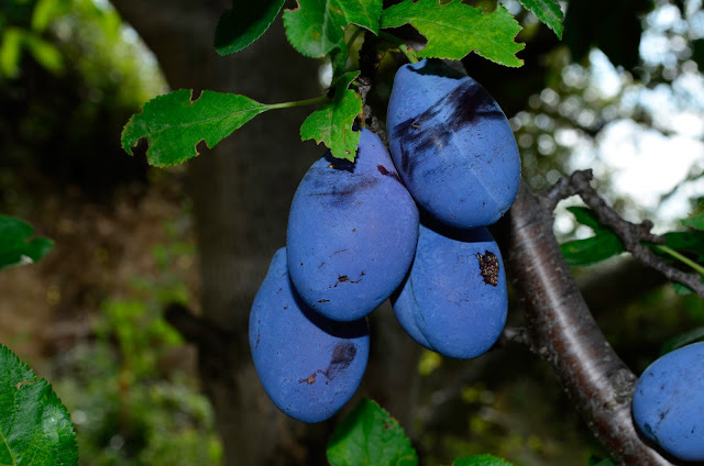 Plums - Healing properties of prunes