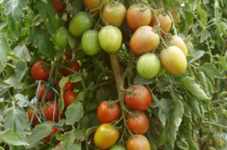Usaha Budidaya Tomat Sayur