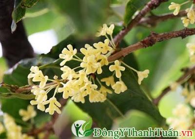 Cách chữa bệnh đau răng sâu bằng hoa mộc