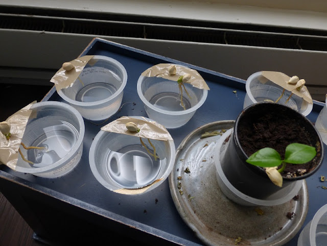 starting grapefruit seeds