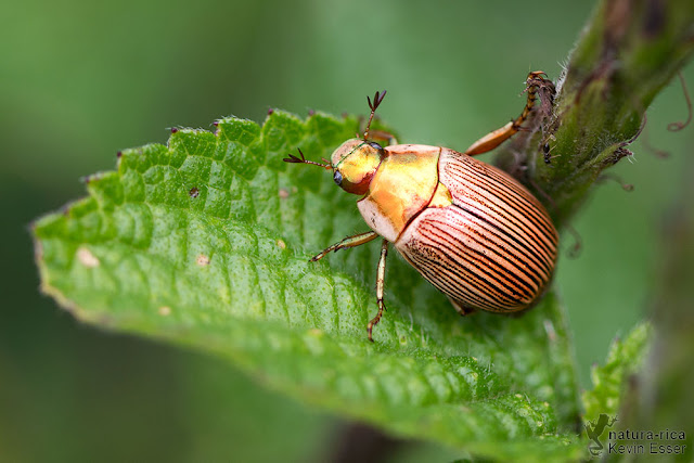Pelidnota strigosa - Shining Leaf Chafer