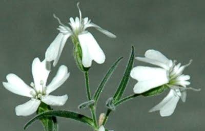 Cientistas Russos Ressuscitam Planta de Mais de 30 Mil Anos