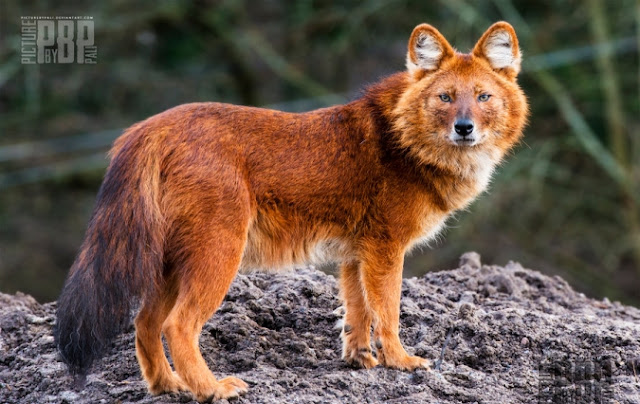 Meet The Amazing Looking Mountain Wolf (The Dhole) From Asia