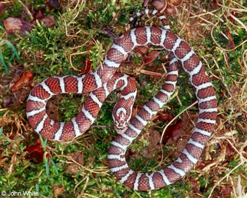 Eastern Milk Snake In Habitas Geographic Range