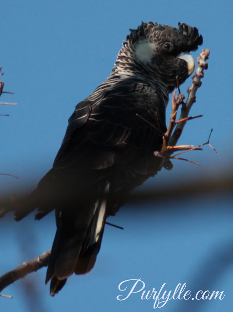 female Carnaby's black cockatoo aka white tail
