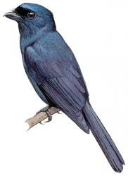 Chaetorhynchus papuensis