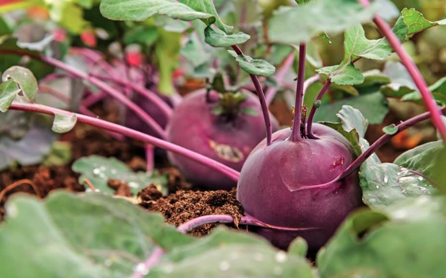 Cómo cultivar remolacha
