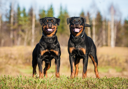 10 interesting facts about Rottweiler.