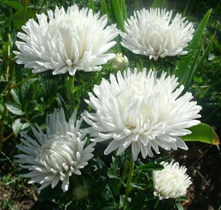 Цветок имени Наталья - астры