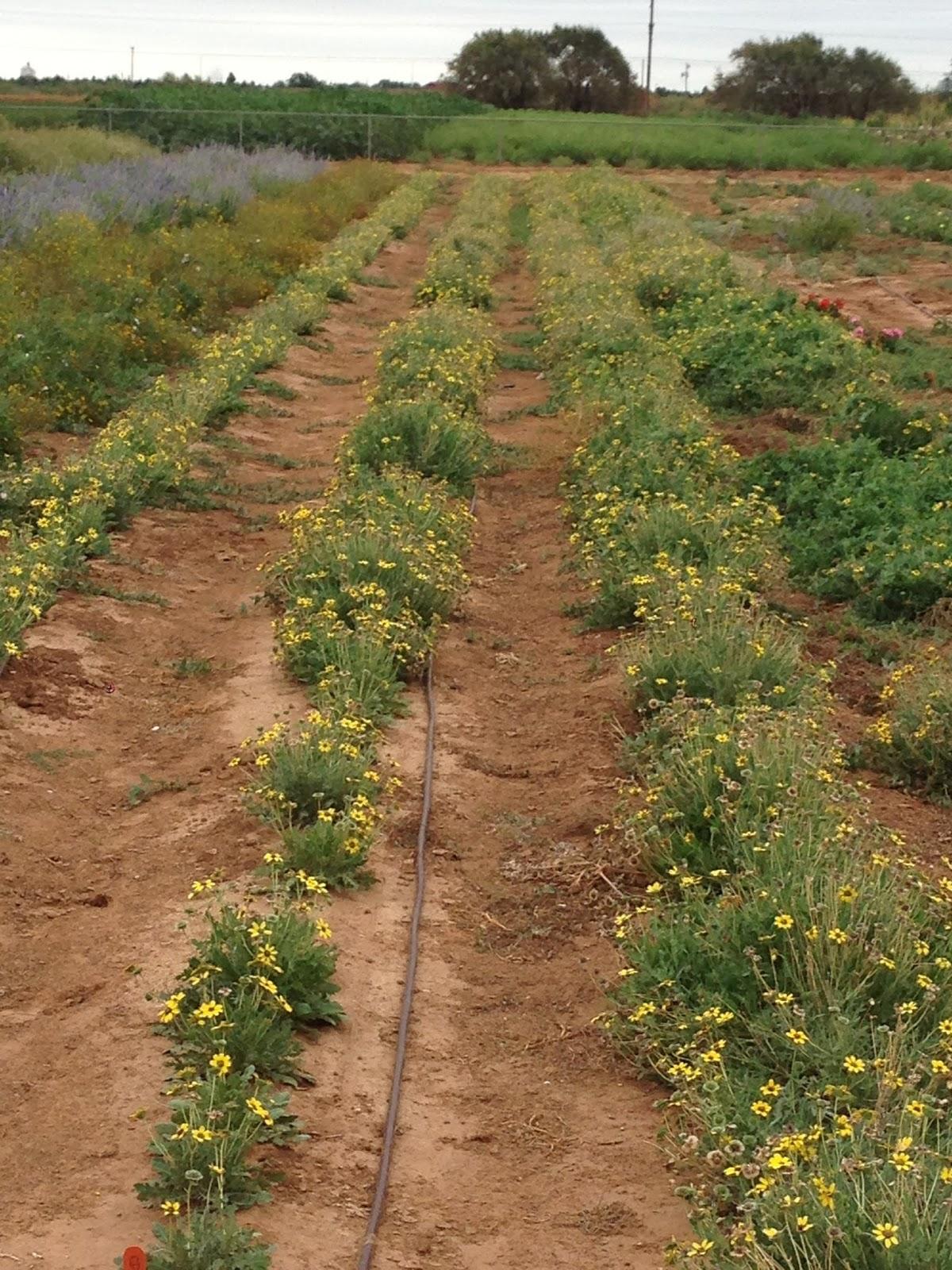 Spring Lawn Management 101: Fertilizer | Texas Tech