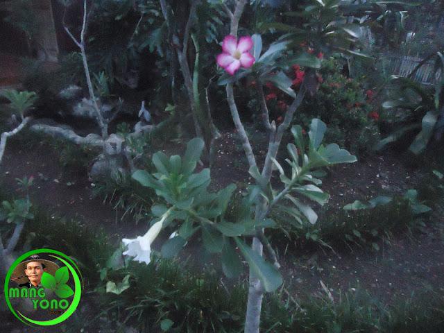 Tanaman bunga Kamboja jepang berwarna merah dan berwarna putih dipadukan dalam satu pohon.