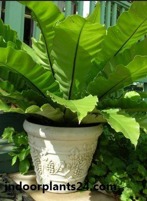 Asplenium nidus Aspleniaceae  indoor house  plant image