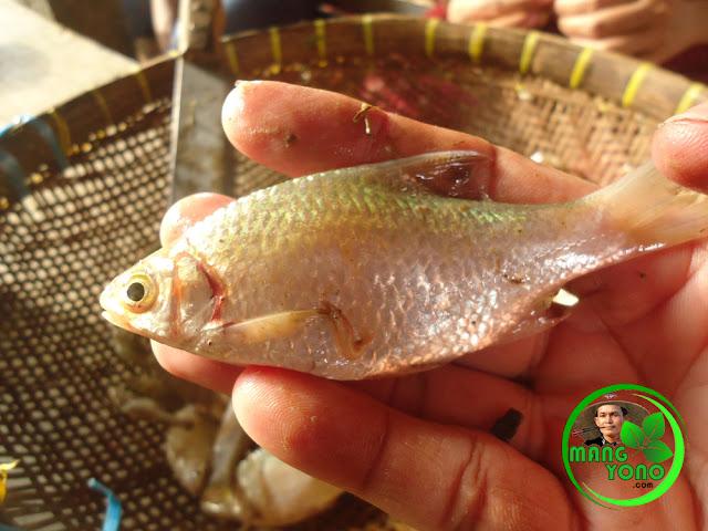 Ikan Beunteur