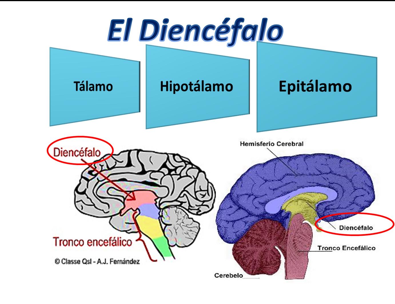 Anatomía y fisiología humana: SISTEMA NERVIOSO