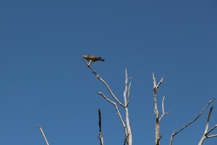 Adler im Udawalawe Nationalpark