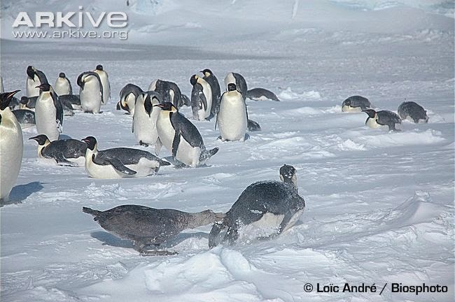 interactions between marine birds emperor penguin