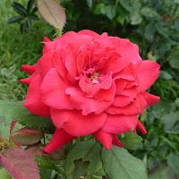 花博記念公園鶴見緑地 モロッコの庭園 バラ
