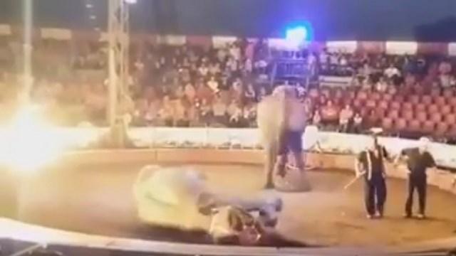 """[INDIGNACIÓN] Elefanta Samba MUERE durante su """"actuación"""" en un Circo de un infarto fulminante"""