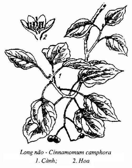 Hình vẽ Cây Long Não - Cinnamomum camphora - Nguyên liệu làm thuốc Chữa Tê Thấp và Đau Nhức