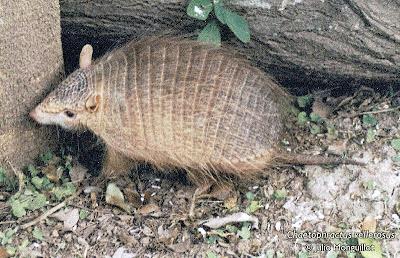 Quirquincho chico Chaetophractus vellerosus