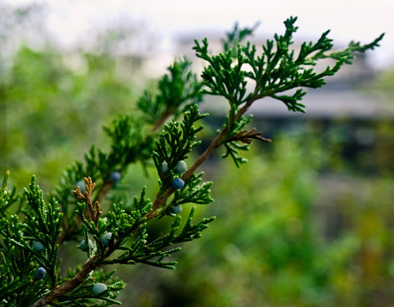 eastern red cedar (Juniperus virginiana)