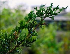 Cedro rosso orientale (Juniperus virginiana)