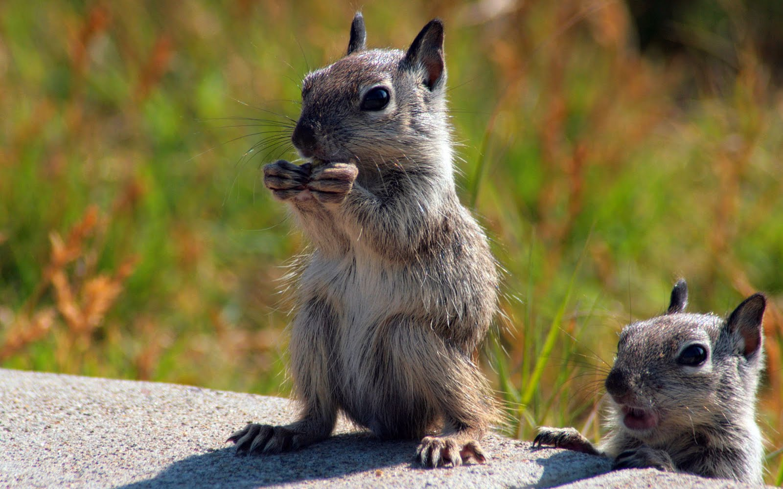 Funny rodents wallpaper for widescreen funny animal - Funny animal wallpapers ...