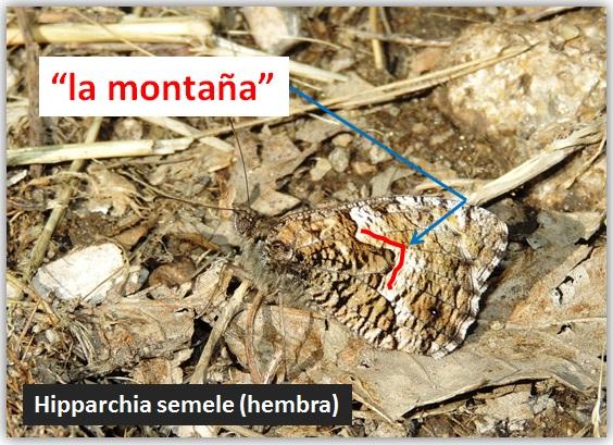 Hipparchia semele y su gran montaña