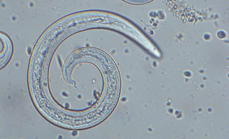 Plucni paraziti kod macaka - etigararunway.ro