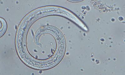Izgled francuskog plućnog crva pod mikroskopom Panvet