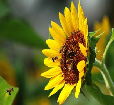 abelhas-se-alimentando-do-nectar-do-girassol