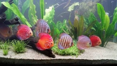 Makanan Ikan Discus Agar Cepat Besar