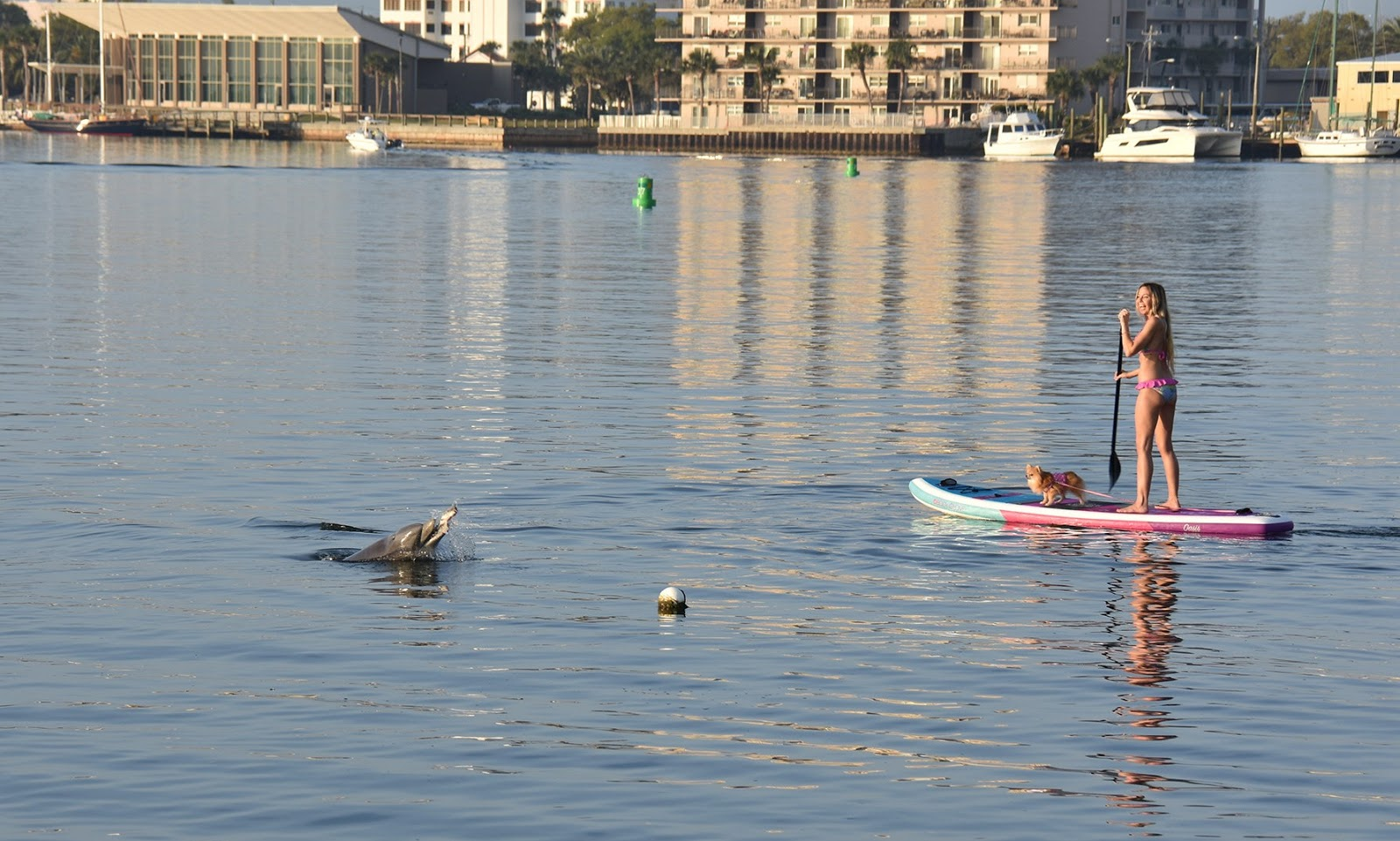 102b4a5135 ... dolphin eating fish on camera, paddle board, infaltable paddle board, body  glove,