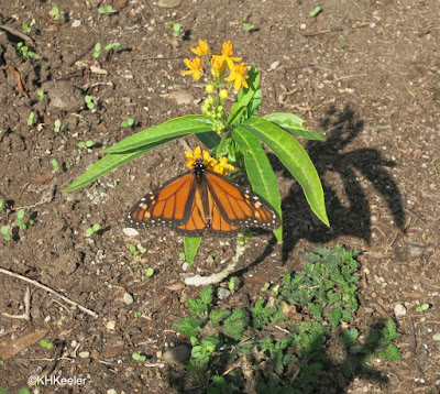 monarch butterfly, San Diego