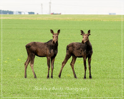 Moose near Regina, SK. Copyright © Shelley Banks, all rights reserved.