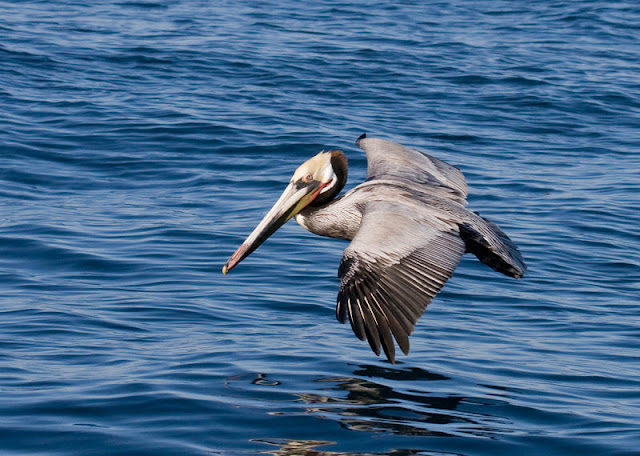 Figure 4: Brown Pelicans have very broad, rounded wings.