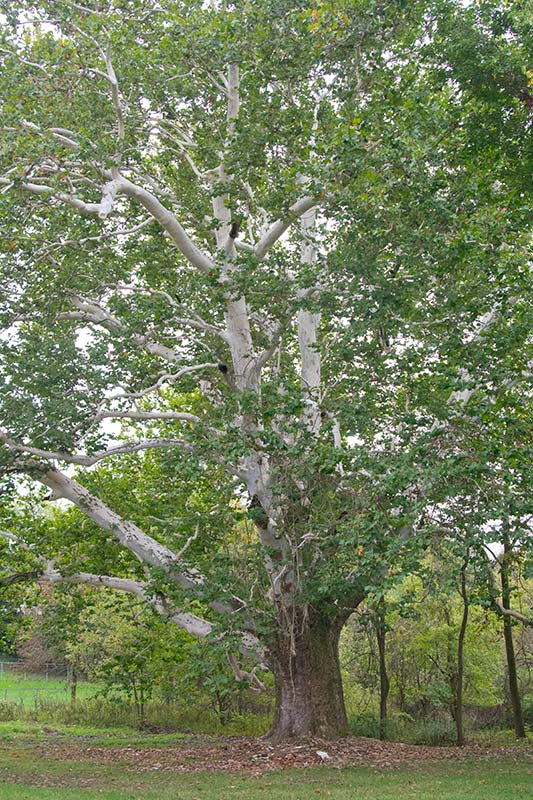 Walter Pall Bonsai Adventures The Old Sycamore In Lingelstown
