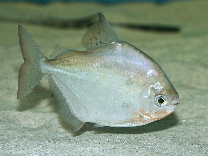 Gambar Jenis Ikan Silver Dollar Metynnis luna