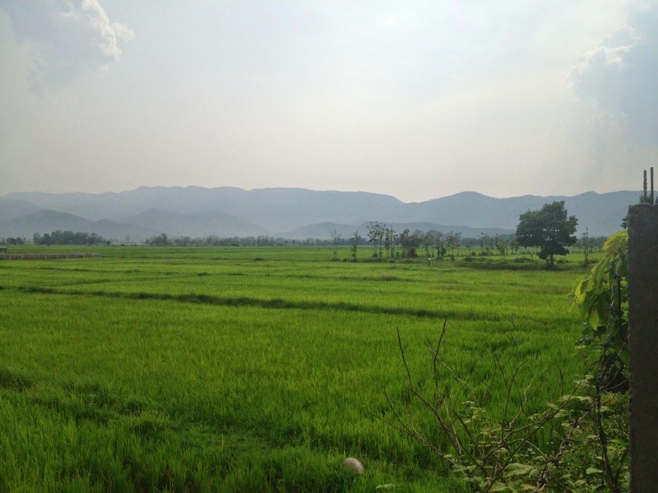 Riisipelto