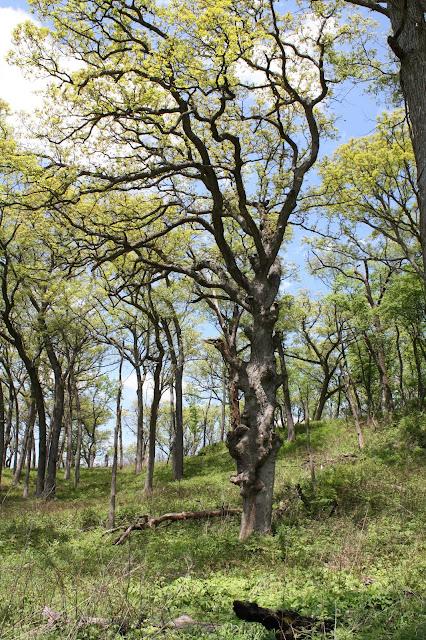 Gnarled tree at Nachusa Grasslands in Illinois